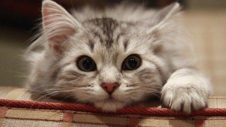 beautiful cat, cat, muzzle