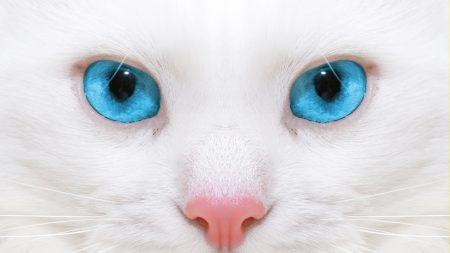 beautiful, white cat, kitten