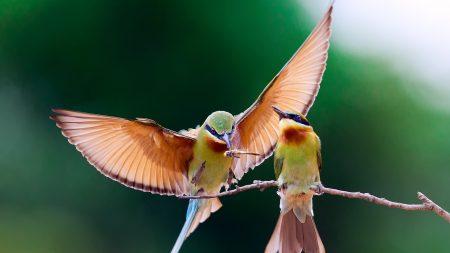 bee-eater, bird, couple