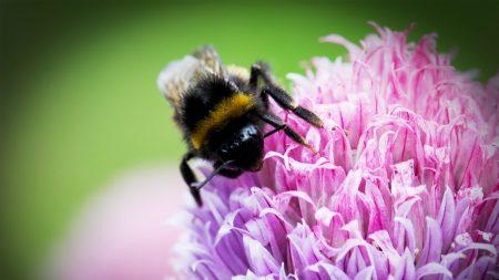 bee, clover, flower