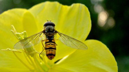 bee, flower, petals