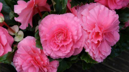 begonia, flower, pink