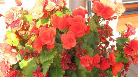begonia, flowers, bright
