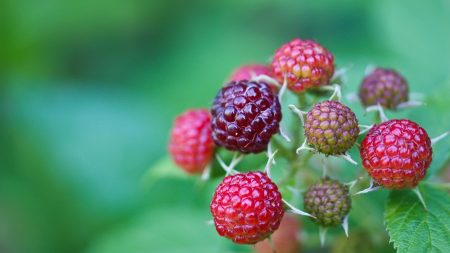 berries, raspberries, branch