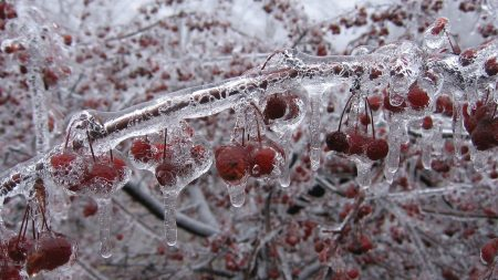 berry, branch, ice