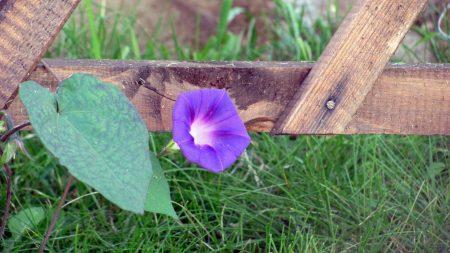 bindweed, flower, grass