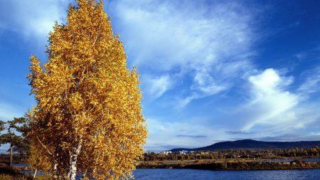 birch, coast, autumn