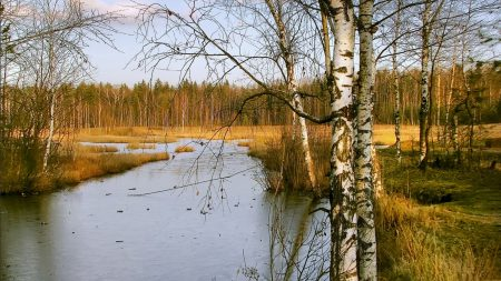birches, autumn, river