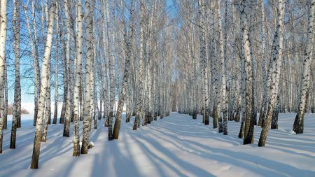 birches, grove, winter