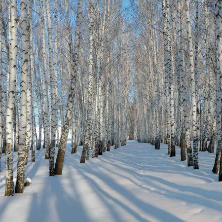 birches, grove, winter