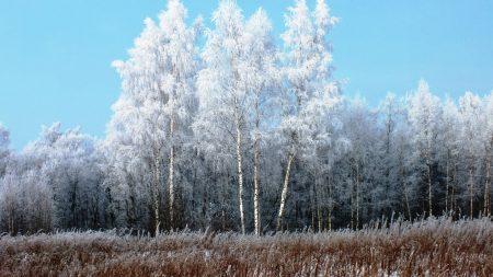 birches, hoarfrost, snow