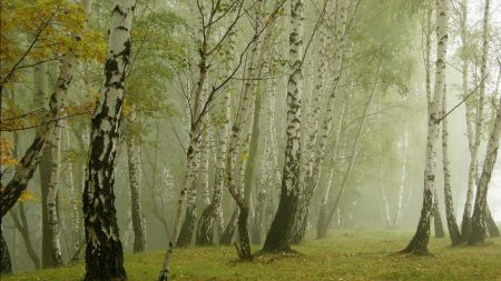 birches, morning, fog