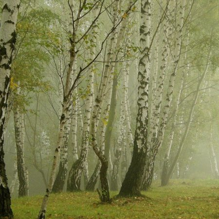 birches, morning, fog