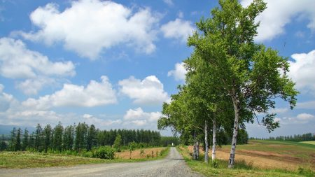 birches, road, country