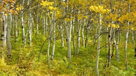 birches, trees, autumn