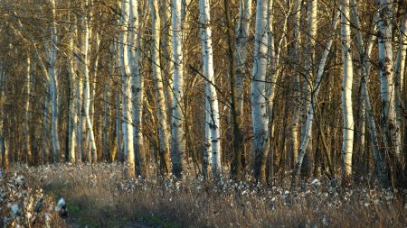 birches, trunks, dandelions