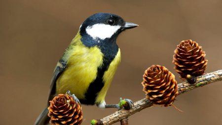 bird, chickadee, branch
