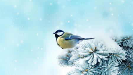 bird, chickadee, spruce
