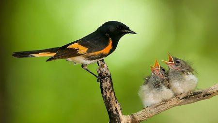 bird, chicks, nest