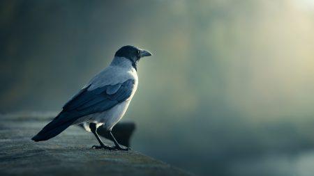 bird, crow, blurring