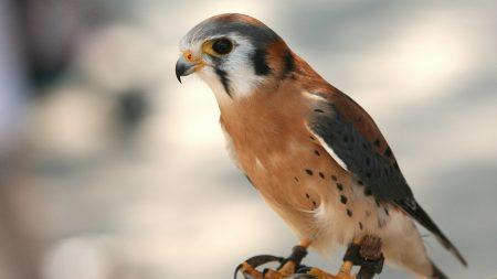 bird, hawk, vulture