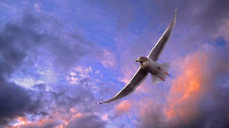 bird, seagull, sky