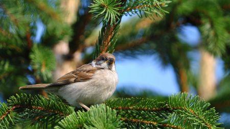 bird, sparrow, pine