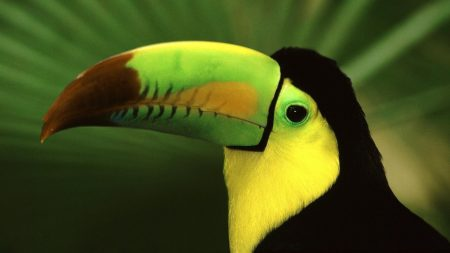 bird, toucan, beak