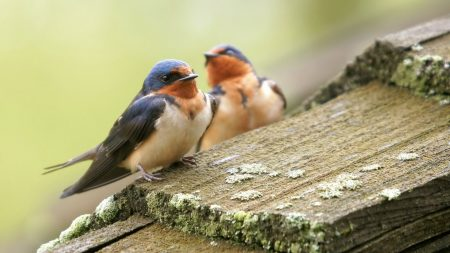 birds, couple, caring