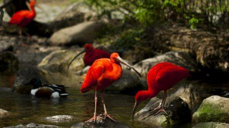 birds, ibis, stream