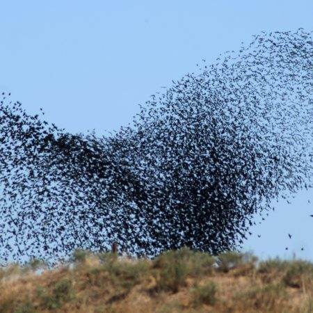birds, swarm, flight