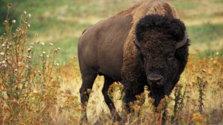 bison, grass, field