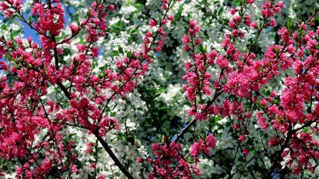 blossom, pink, white