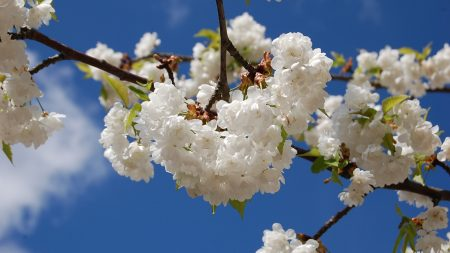 blossoms, snowy, spring