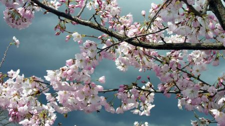 blossoms, twigs, tree