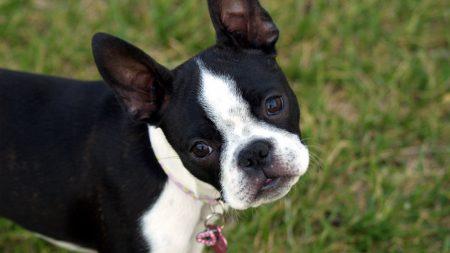 boston terrier, puppy, face
