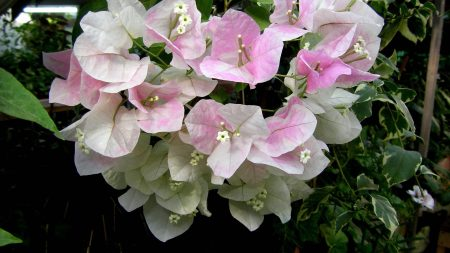 bougainvillaea, flowering, green
