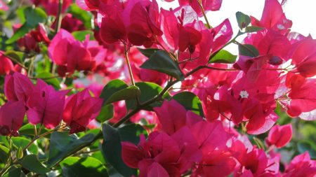 bougainville, flowering, branches