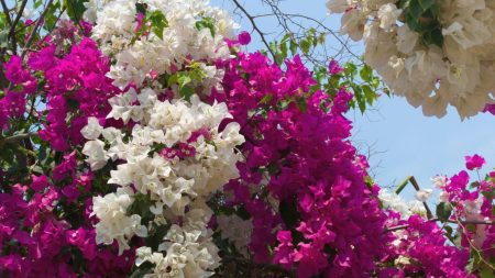 bougainville, flowering, two-tone