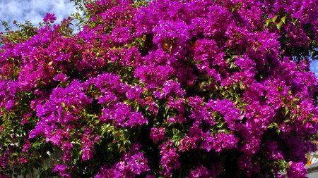 bougainville, flowers, greenery