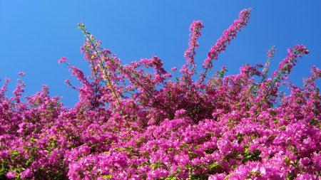 bougainville, flowers, plants