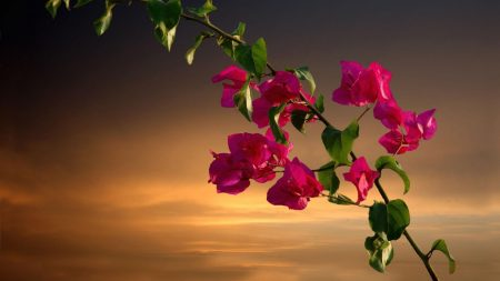 bougainvillea, branches, leaves