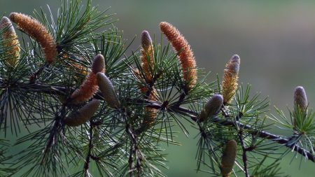branch, pine, needles