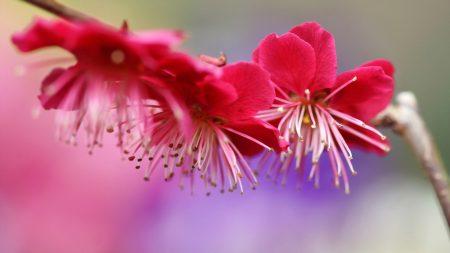 branch, plum, spring
