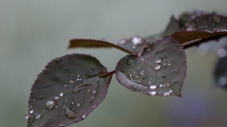 branch, rose, leaves