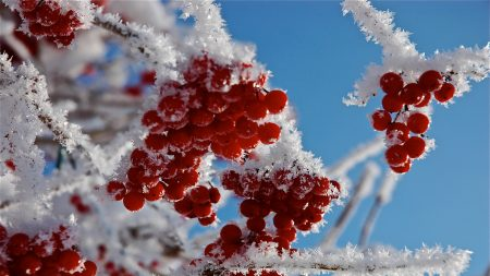 branches, frost, close-up