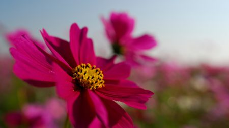 bright, petals, pink