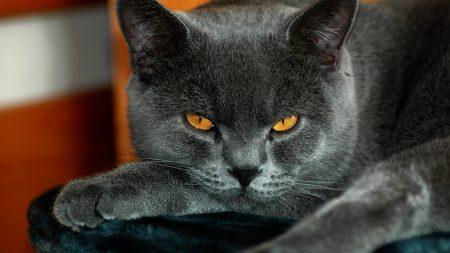 british, yellow eyes, cat