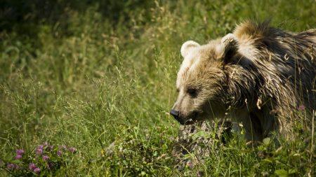 brown, walk, bear