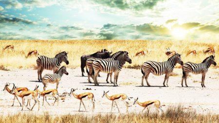buffalo, zebra, africa